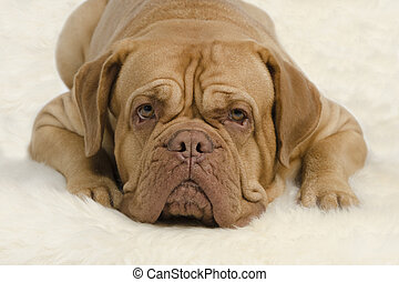Attentive wrinkled dog looking at camera - Attentive...