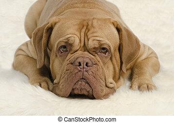 Attentive wrinkled dog on white carpet