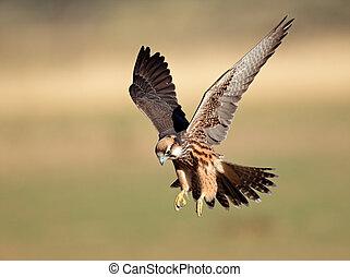 atterrissage, faucon lanner