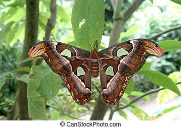 Attica butterfly