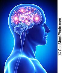 attivo, cervello, maschio, anatomia