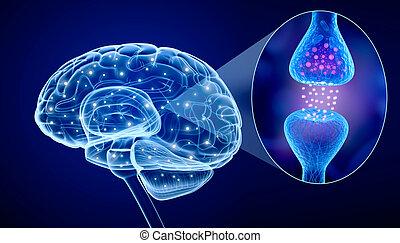 attivo, cervello, recettore, umano