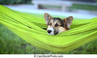 attractive young woman with cute Welsh Corgi dog lying in...