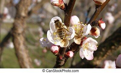 attraente, fiore, nettare, ape