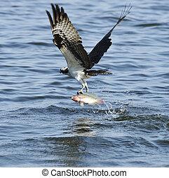 attraper, osprey, fish