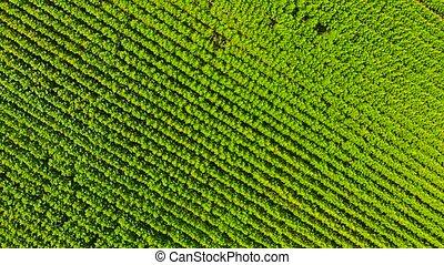 au-dessus, champ, plants., vert, énorme, vue