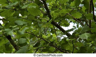 aubépine, dessous, arbre