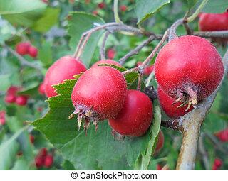 aubépine, feuilles, cultivé, grand, vert, branche, fruits, épine, rouges