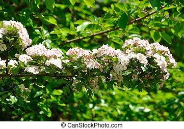 aubépine, fleurs, bretagne