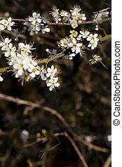 aubépine, fleurs, commun