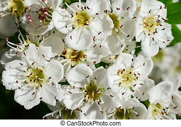 aubépine, fleurs