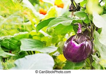 aubergine, in, erhobenen bett