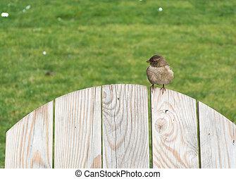 Auburn sparrow on the fence