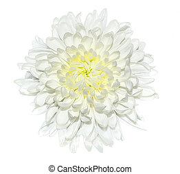 auf, blume, freigestellt, crysantheme, ledig, hintergrund, schließen, weißes