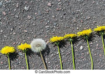 auf, der, bürgersteig, lie, löwenzahn, in, a, linie., alles, unblown, dandelions., a, lã¶wenzahn, blossomed, und, became, fluffy.