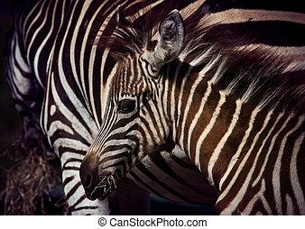 auf, pony, junger, wildnis, schließen, zebra, gesicht, ...