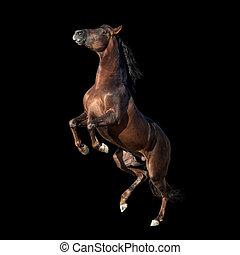 aufbäumen, kastanie, andalusian, pferd, auf, schwarzer hintergrund