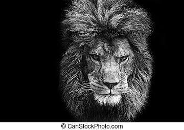 auffallend, porträt, von, männlicher löwe, auf, schwarzer hintergrund, in, monochrom
