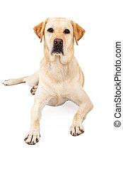 aufmerksam, liegende , labrador, gelber , apportierhund