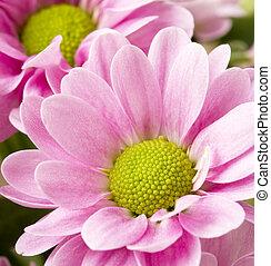 aufschließen, bild, von, bündel, rosa, chrysanthemen