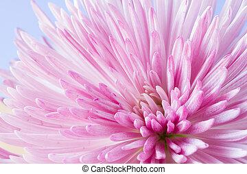 aufschließen, bild, von, crysantheme, blume