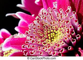 aufschließen, bild, von, dunkles rosa, crysantheme, blume