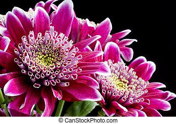 aufschließen, bild, von, dunkles rosa, crysantheme, blumen, auf, schwarz