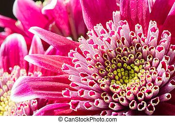 aufschließen, bild, von, dunkles rosa, crysantheme, blumen