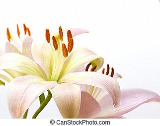aufschließen, bild, von, fahles rosa, lilie
