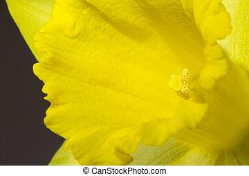 aufschließen, bild, von, gelber , narzisse