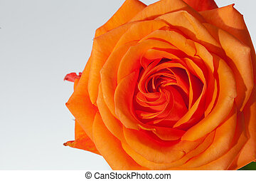 aufschließen, bild, von, ledig, orange rose