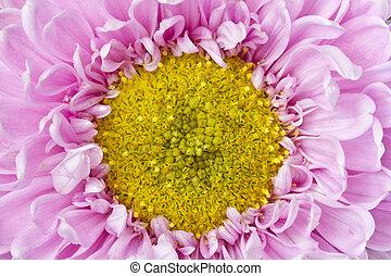aufschließen, bild, von, rosa gelb, crysantheme