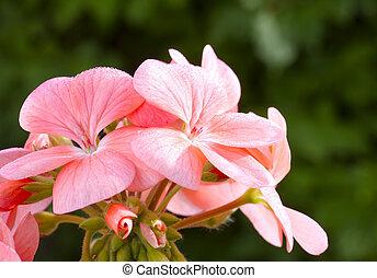 aufschließen, bild, von, rosa, geranie, blume, (pelargonium)