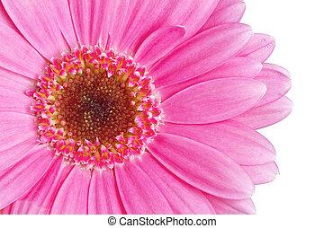 aufschließen, bild, von, rosa, gerbera