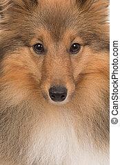 aufschließen, porträt, von, a, shetland, schaf hund