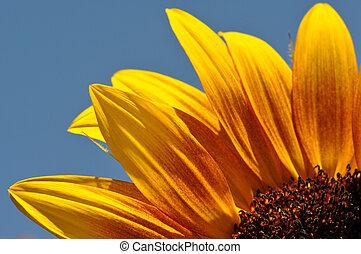 aufschließen, sonnenblume, blütenblätter
