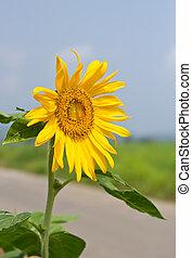 aufschließen, sonnenblume