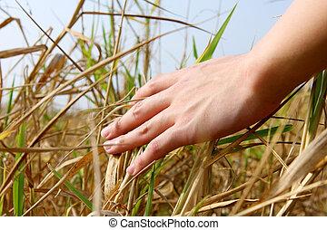 aufschließen, von, a, hand mann, berühren, der, gras, 'feeling, natur