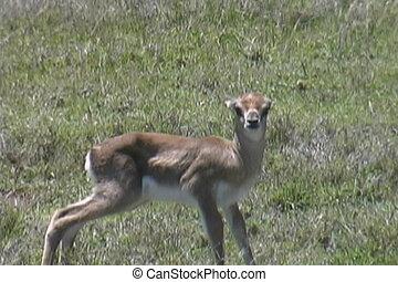aufschließen, von, a, neu geboren, gazelle, nur, stunden,...