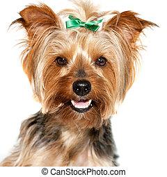 aufschließen, von, reizend, yorkshire, dog.