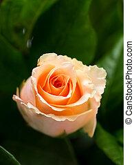 aufschließen, von, rose, blume