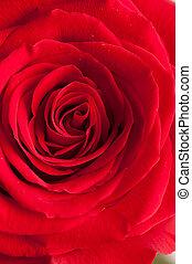 aufschließen, von, rose