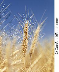 aufschließen, von, wheat.