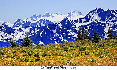 aufstellen, olymp, lila, lupine, wildflowers, nadelbäume, schnee, berge, hurricaine, bergrücken, olympischer nationalpark, staat washington , pazifischer nordwesten