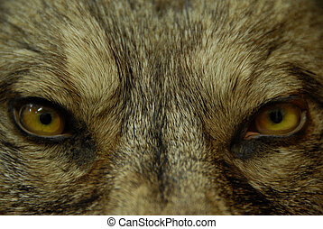 augenpaar, von, wolf