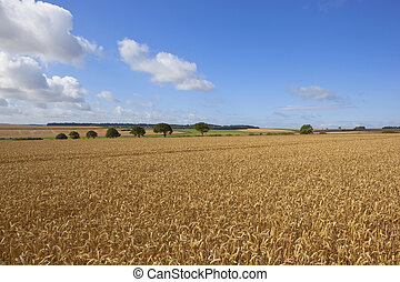 august wheat fields - late summer landscape with fields of...