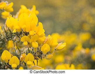 aulaga, florecer