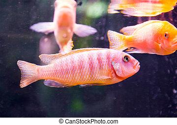 Aulonocara fish - Photo of aulonocara fish in blue water