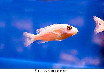 Aulonocara fish - Photo of red aulonocara fish in aquarium