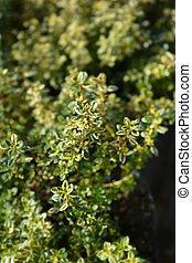 Aureus Lemon Thyme - Latin name - Thymus x citriodorus Aureus